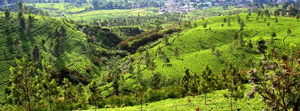 Tea plantations in Puncak.
