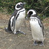 Penguins in natural habitat.