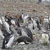 Penguin in natural habitat.