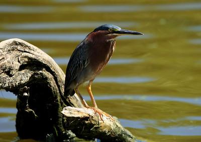 Birds of Punta Cana DR_44