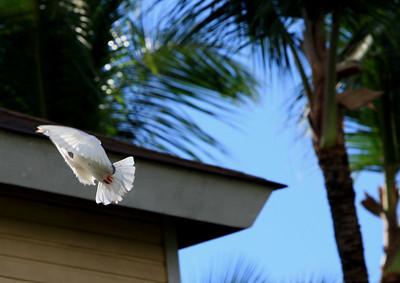 Birds of Punta Cana DR_10
