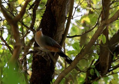 Birds of Punta Cana DR_42