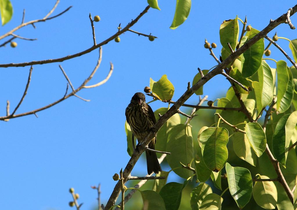 Birds of Punta Cana DR_77