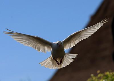 Birds of Punta Cana DR_15