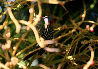 Birds of Punta Cana DR_22