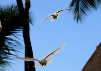Birds of Punta Cana DR_14