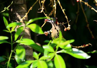 Birds of Punta Cana DR_21