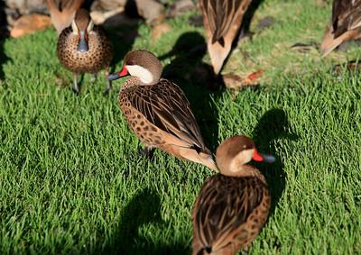 Birds of Punta Cana DR_18