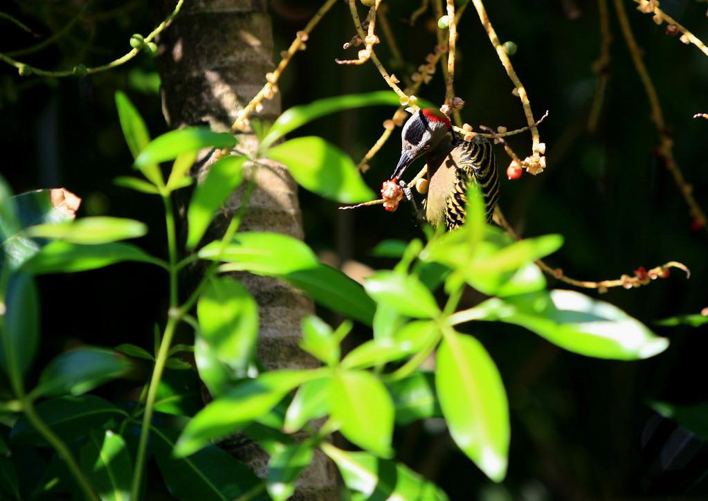 Birds of Punta Cana DR_20