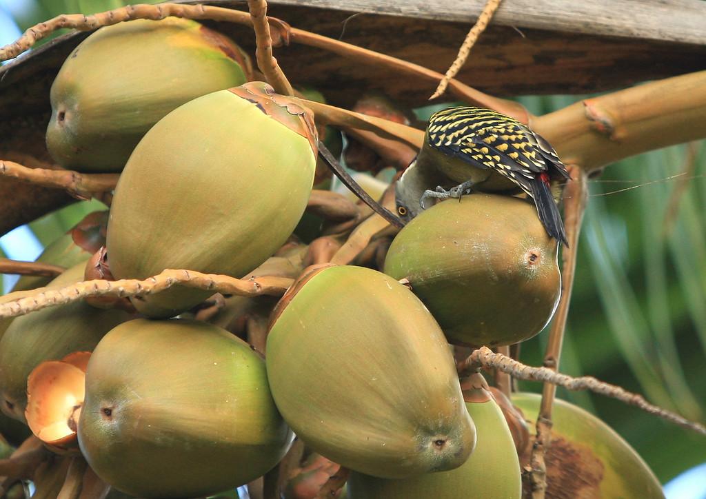 Birds of Punta Cana DR_56
