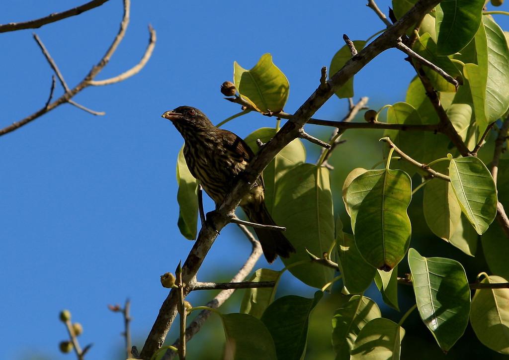 Birds of Punta Cana DR_78