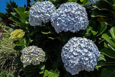 Hydrangeas - a popular flower in Costa Rica