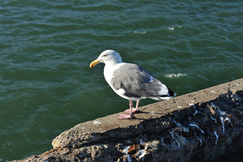 Sea gull on Fort Point