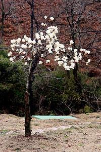 Ahh, pretty magnolias