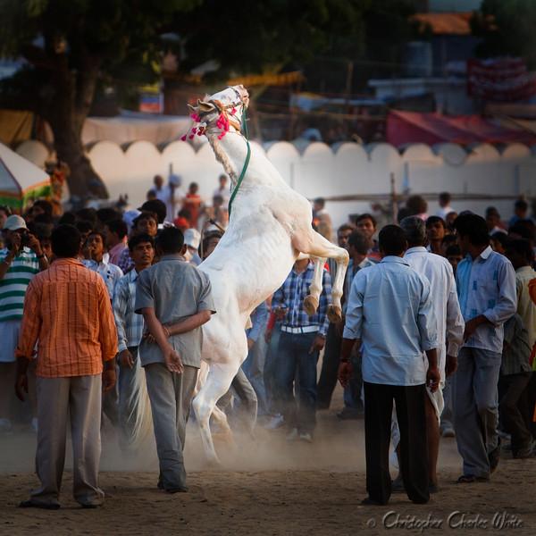 Horse at Pushkar India-1