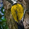 Woodpecker - Black-rumped Flameback