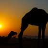 Camels in the Desert at Sunset in Pushkar, India