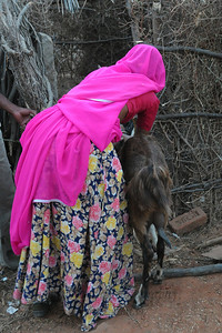 Sayar Singh's wife with the family goats in Chamunda Matha Road, Pushkar. The town of Pushkar is located 14 km North West of Ajmer. Pushkar is one of the oldest cities of India. It  has in recent years become a popular destination for foreign tourists. Pushkar, Rajasthan, India.