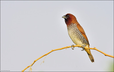 Scaly breasted Munia....