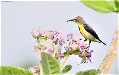 Purple Sunbird....