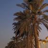 Palms and moon on Doha's Corniche.