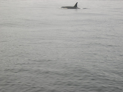 And while we were fishing some killer whales passed by.  They scared the salmon.