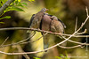 Quito. La Carolina Park: Eared Dove (<em>Zenaida auriculata</em>)