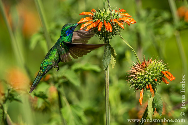 Quito: Hummingbird