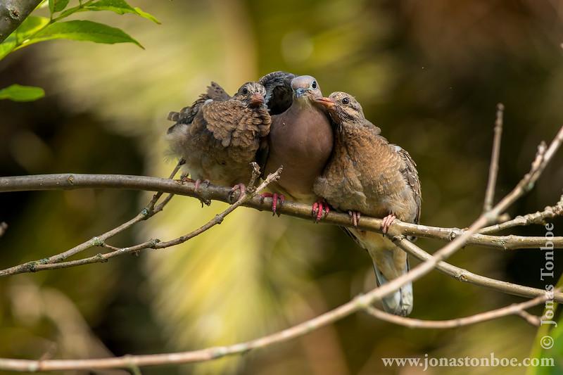 Quito. La Carolina Park: Eared Dove (<i>Zenaida auriculata</i>)