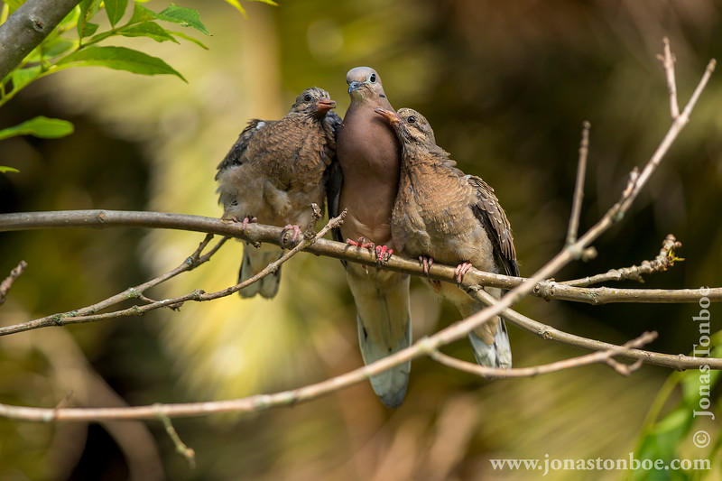 Quito. La Carolina Park: Eared Dove (Zenaida auriculata)