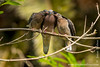Quito. La Carolina Park: Eared Dove (<i>Zenaida auriculata</i>)