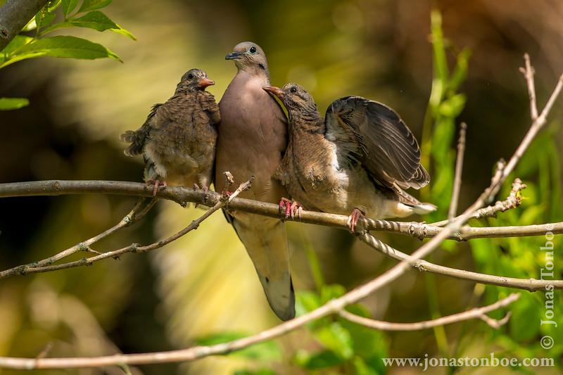 Ecuador. Quito. La Carolina Park: Eared Dove (<i>Zenaida auriculata</i>)