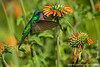 "Quito: Hummingbird<br><br><font size=""+1""><b>Winner 2013 Naturetrek Photography Competition: Gallery of the Year</b></font><br><a href=""https://www.flickr.com/photos/naturetrek/sets/72157640968056675/"">Competition Gallery at Flickr</a>"