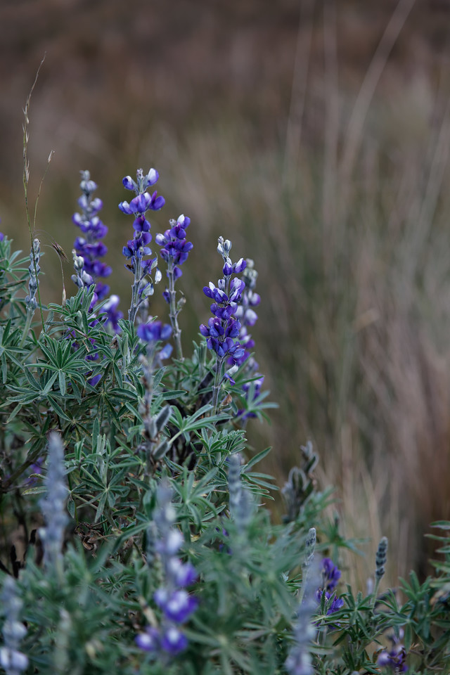 Lupine on the volcano hillside