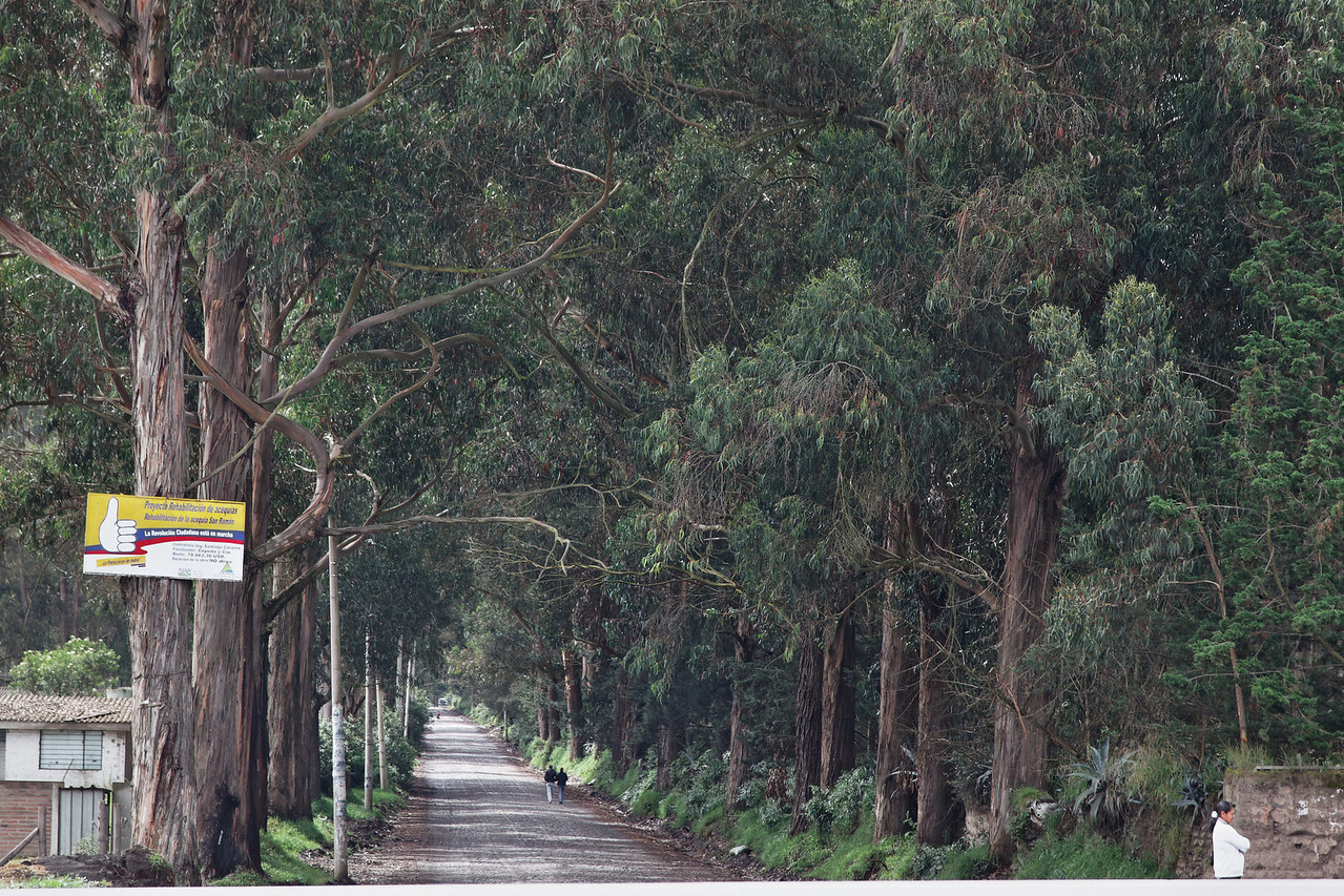 lane lined with Eucalyptus trees