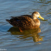 Mottled Duck, South Padre Island Birding and Nature Center