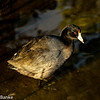 American Coot, South Padre Island Birding and Nature Center