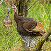 Wild Turkey, Resaca de las Palmas State Park, Brownsville, TX
