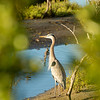Great Blue Heron, South Padre Island Birding and Nature Center