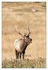 IMG_1244<br /> <br /> Bugling elk.