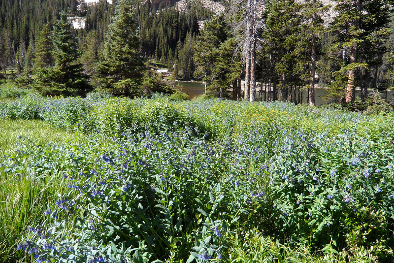 The wildflowers around Thunder Lake - and much of the high country - were amazing and in full bloom very late in the year due to all the snow.