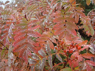 Rain droplets glistening on mountain ash in autumn.