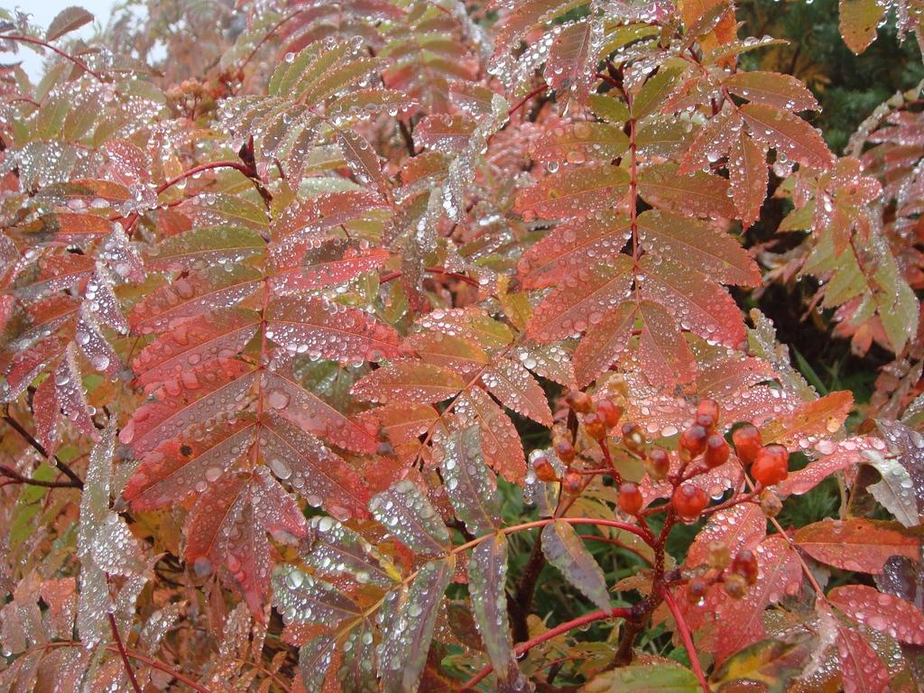 Rain droplets glistening on mountain ash in autumn.