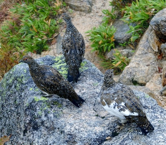 Ptarmigan family with winter plummage coming through.