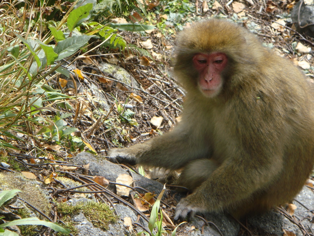Japanese macaque monkey.
