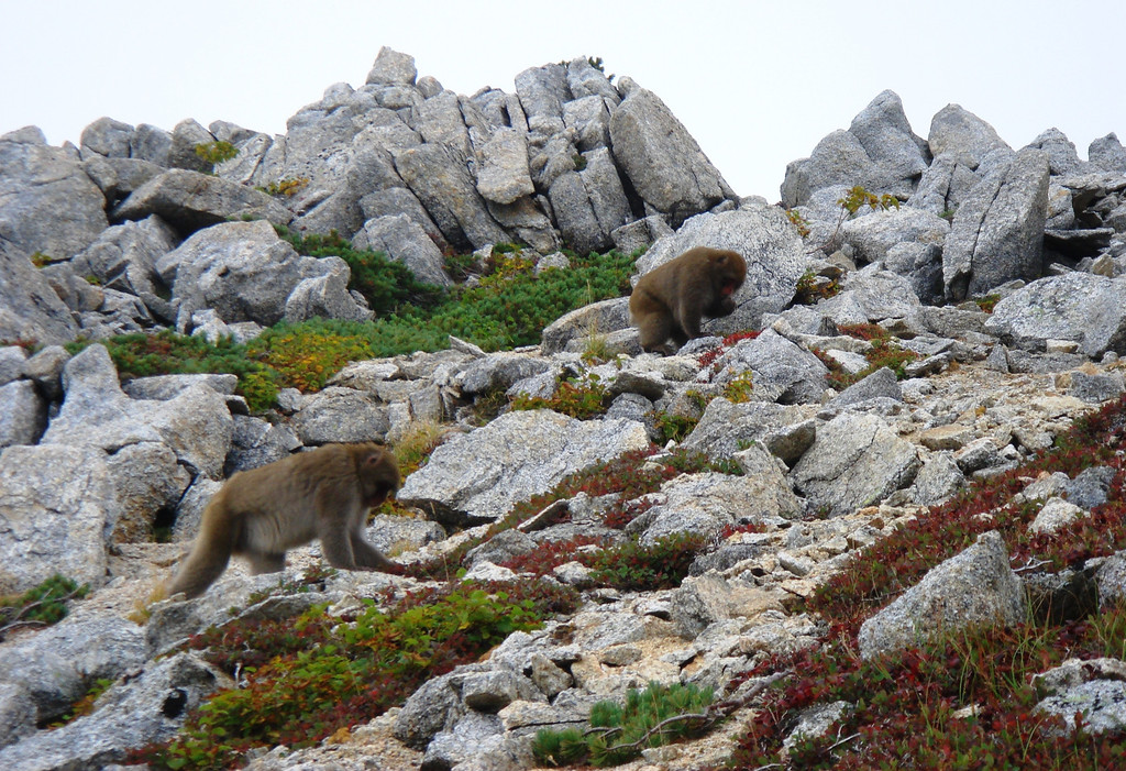 MACAQUE MONKEYS FORAGING FOR BLUEBERRIES IN JAPAN ALPS IN SEPTEMBER.