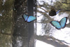 In flight the butterfly's wings were a beautiful blue.