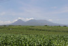 Coffee is El Salvador's major crop although corn like this is also grown... mainly for local consumption.