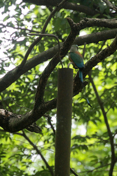 A Turquoise-browed Motmot, the national bird of El Salvador came to visit during Rena's talk. Too bad it was too shy to look at us!