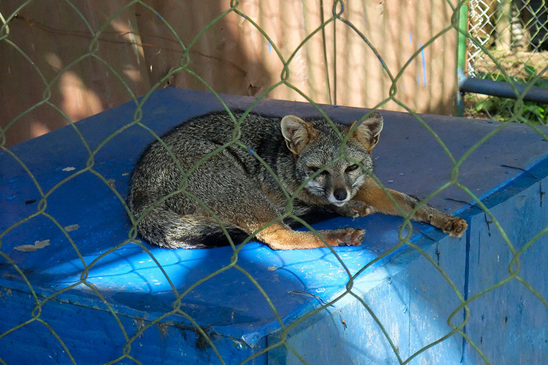 This is a Grey fox.